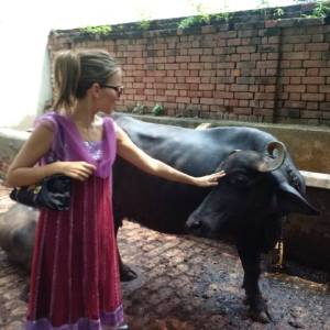 buffaloes in india