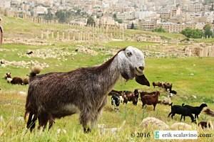 Jerash happy goat_web