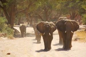 Adapted Desert Elephant