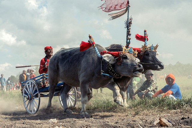 Cow racing in Bali