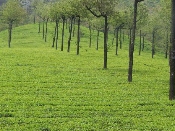 Tea Estate MTCR Munnar