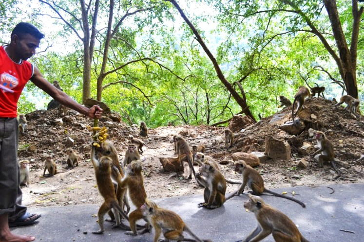 Smithsonian Primate Research Station, Unique experience with the monkeys in the ruins of Polonnaruwa