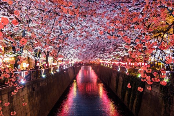 Image shows cherry blossoms in Japan, a large source of inspiration for Yoku Shimizu and her work.