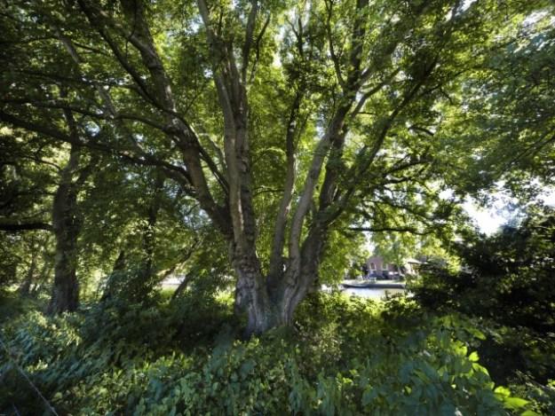 De veldesdoorn van buitenplaats Doornburgh is maar liefst 20 meter hoog en kan driehonderd jaar worden