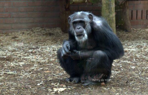 Twee ontsnapte chimpansees, foto Berry de Nijs