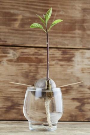 DIY: laat je eigen avocadoboompje groeien  Culynl