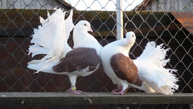expozitie-porumbei1