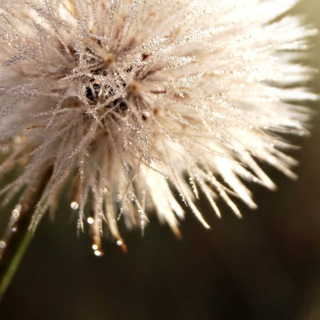 frosted-dandelion