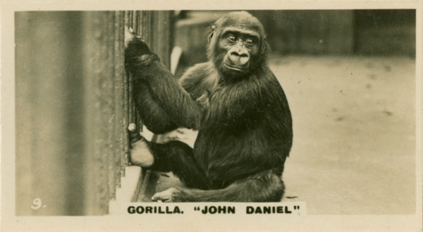 John Daniel true tale of a gorilla who was raised like a child in an English village