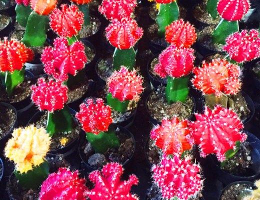 Summer Cactus | www.cupcakesandthecosmos.com