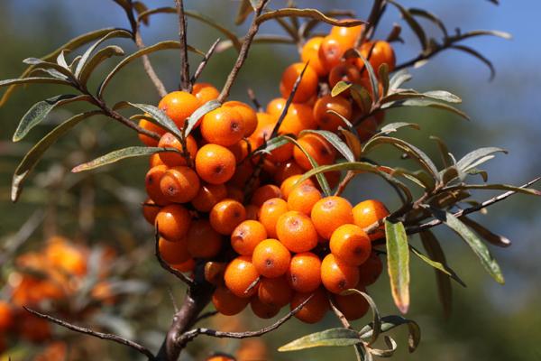 Have You Heard of Sea Buckthorn Berries?