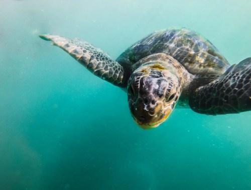 mancora turtle swimming peru pacific ocean south america latin nature tour activities guide tips feeding