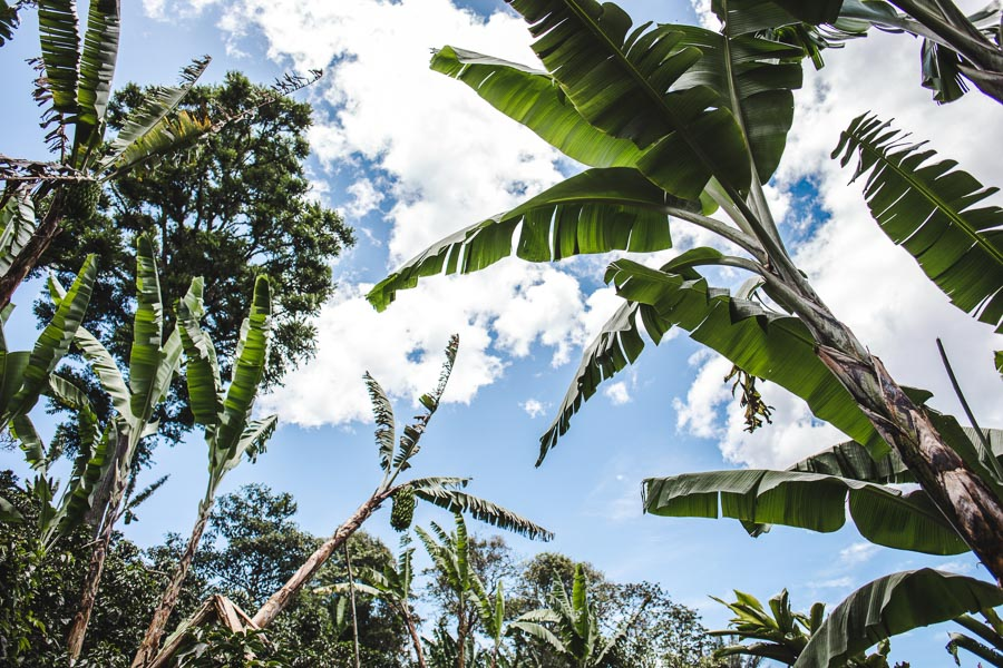 salento coffee tours colombia fincas review acacias