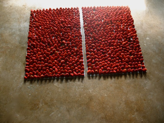 Strawberry Fields, 2012 - present  strawberries, zinc  2 ½ in. x 24 in. x 36 in. each  Over 800 strawberries are aligned into columns and rows on the  matrices of two etching plates. As the strawberries sit on the plates the  acid etches an impression, thus activating the matrices. Fresh  strawberries are used for each iteration of the sculpture.