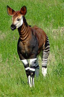 An Okapi.  Photo source: Wikipedia