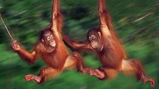 orangutan_0727