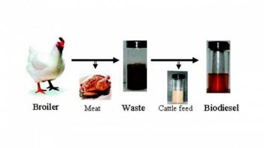 chicken-biodiesel