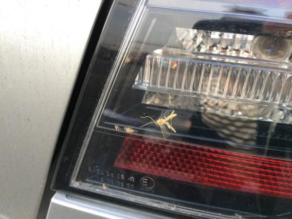 holden calais bug