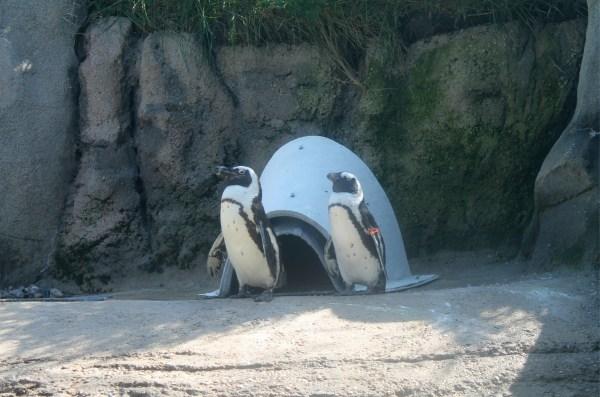African Penguins at Pritzker Cove. Lincoln Park, Chicago. Sunday, September 16, 2018.