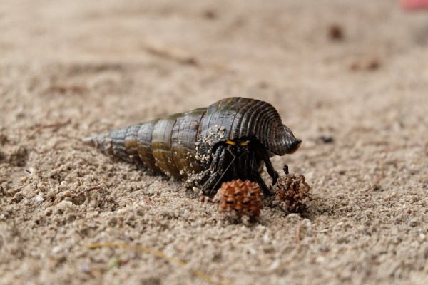 Hermit crab photograph by James Tiono, as sourced for free from Unsplash.