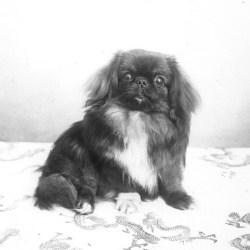 Le pékinois, le chien des empereurs de Chine