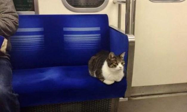 El gato japonés que sabe usar el metro y se desplaza por Tokyo
