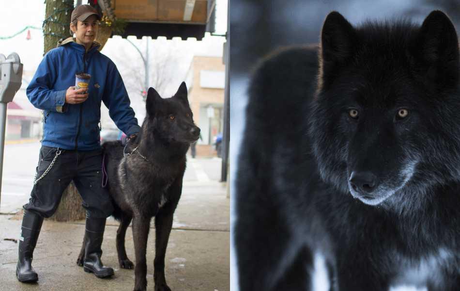 """""""Wolfdog"""" o Perro lobo: Todo lo que necesitas saber"""