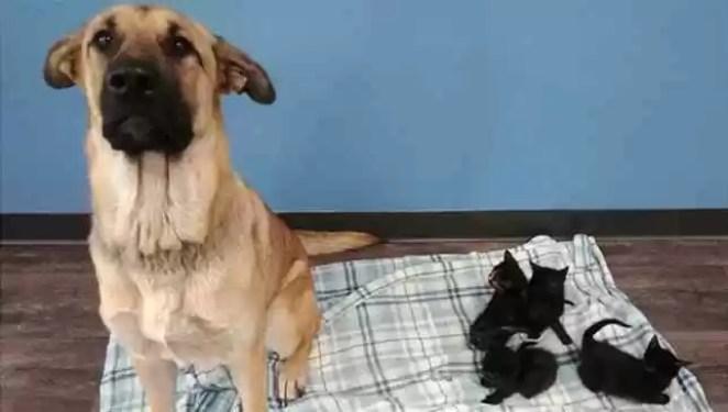 cadela adota gatinhos e os protege do frio
