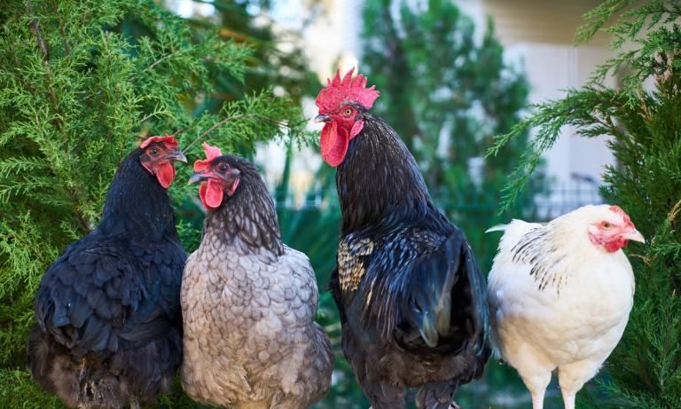 ¿Hay diferencia entre el pollo normal y el pollo de corral o es un mito?