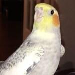 VÍDEO: Una cacatúa canta el tono de llamada del iPhone cada vez que se enoja
