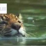Vídeo Increíble, Jaguar Ataca a Cocodrilo