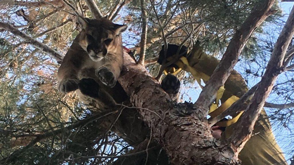 Bomberos en California rescatan a un puma atrapado en un árbol