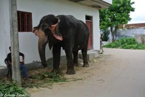 Eléphant dans les rues d'Amber, Rajasthan