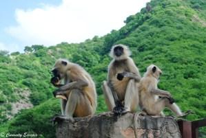 Singes au Galta Ji Temple sur les hauteurs de Jaipur