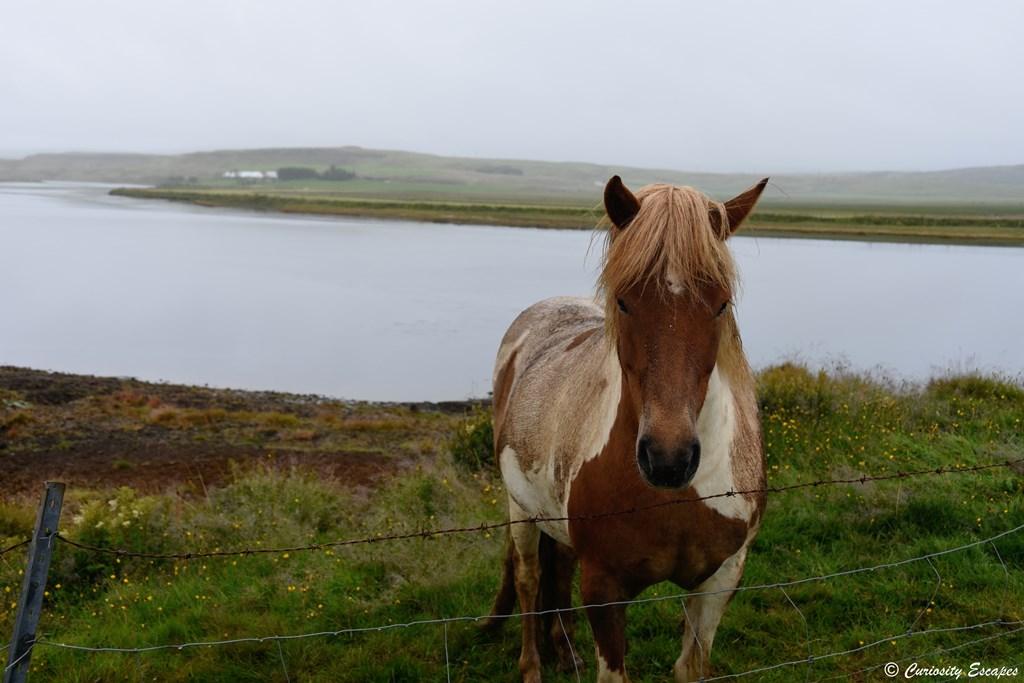 Cheval islandais au bord d'un lac