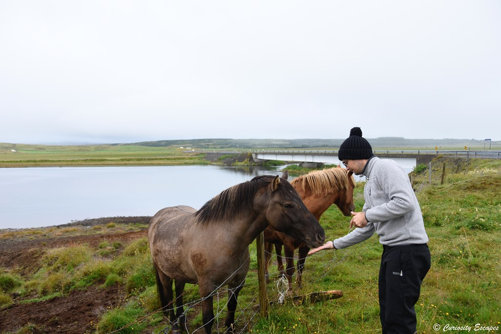 Rencontre avec les chevaux islandais