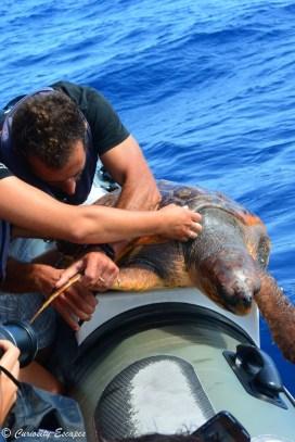 Baguer les tortues pour les protéger