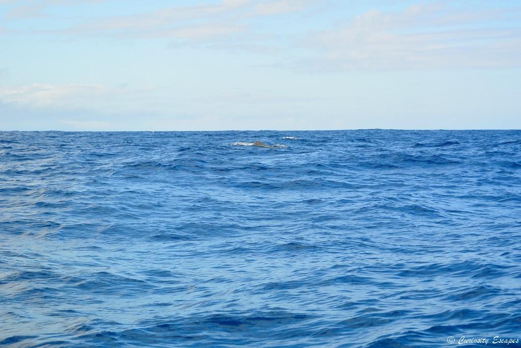 Cachalot aux Açores