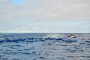 Dauphin blanc et bleu à Pico, Açores
