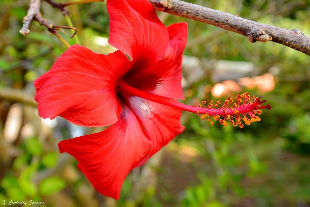 Fleur sauvage de l'île de Flores