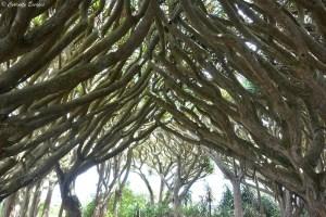 Arbre dragonnier aux Açores