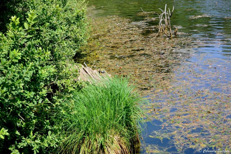 Tortue cistude à l'étang de Lemps