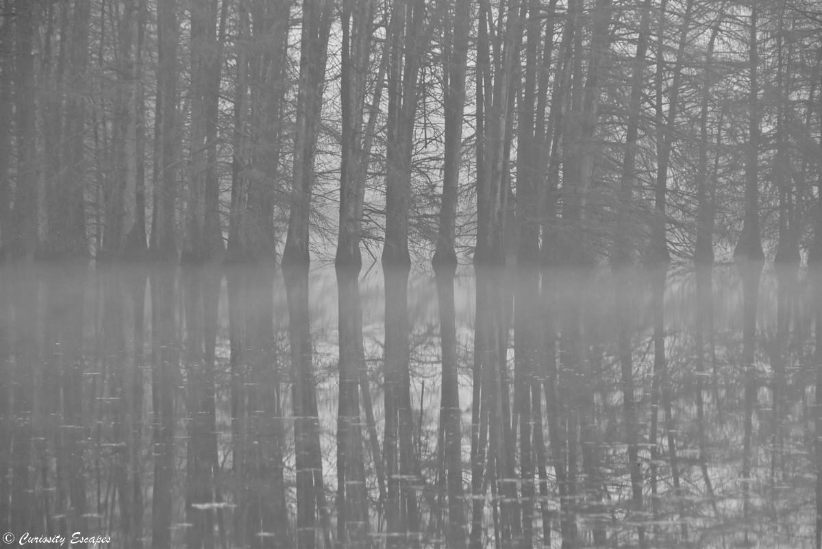 Effetto specchio dei cipressi calvi sotto la nebbia
