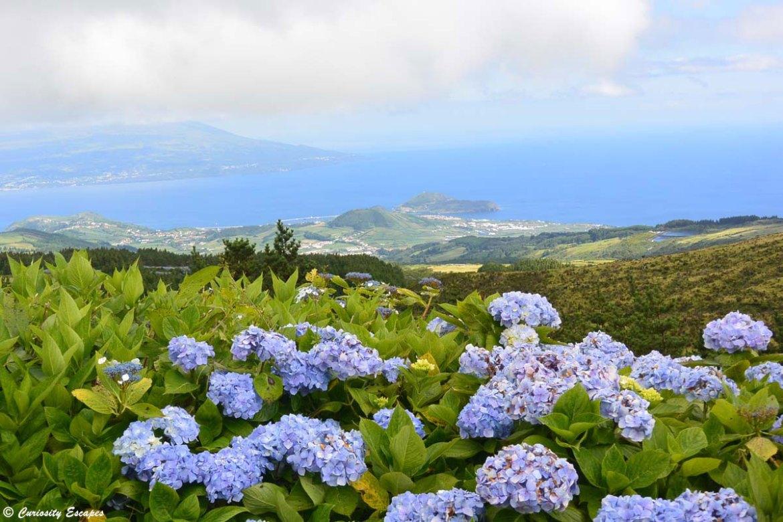 L'île de Faial et ses hortensias, Açores