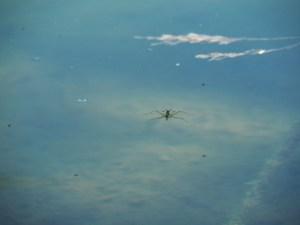 Araignée d'eau de l'étang de la Serre, Isère
