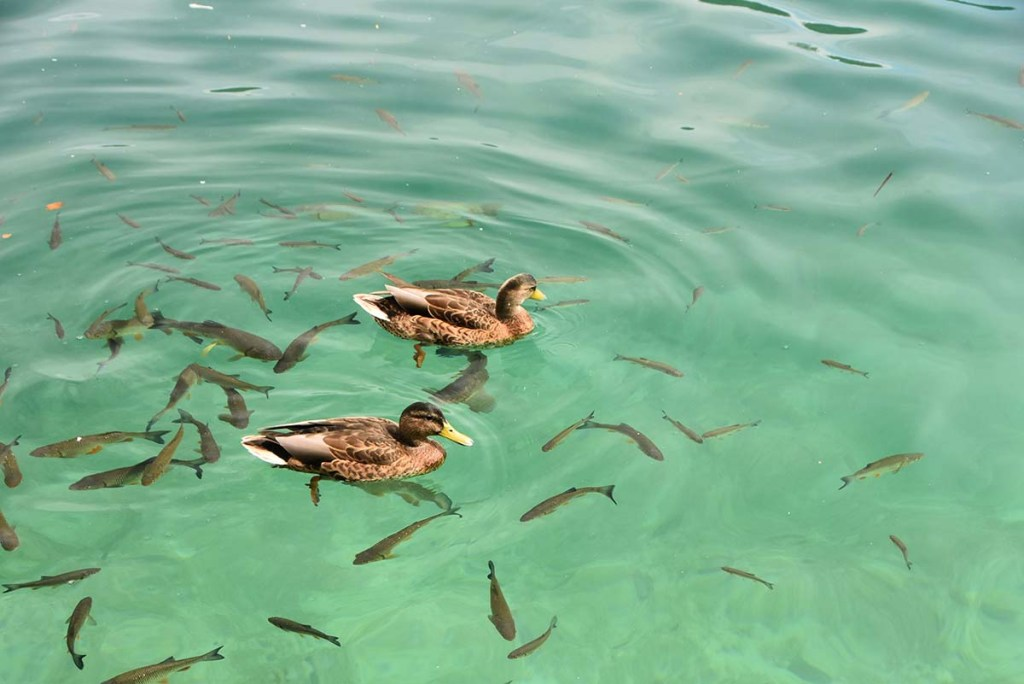 Canards au parc national de Plitvice, Croatie