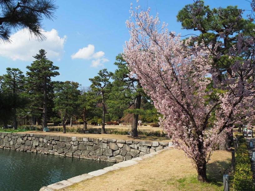Cerisier du Japon, en fleurs au printemps