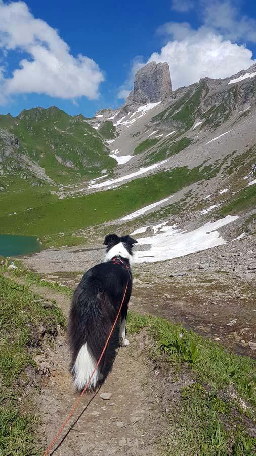 Chien dans le massif du Beaufortain, Savoie