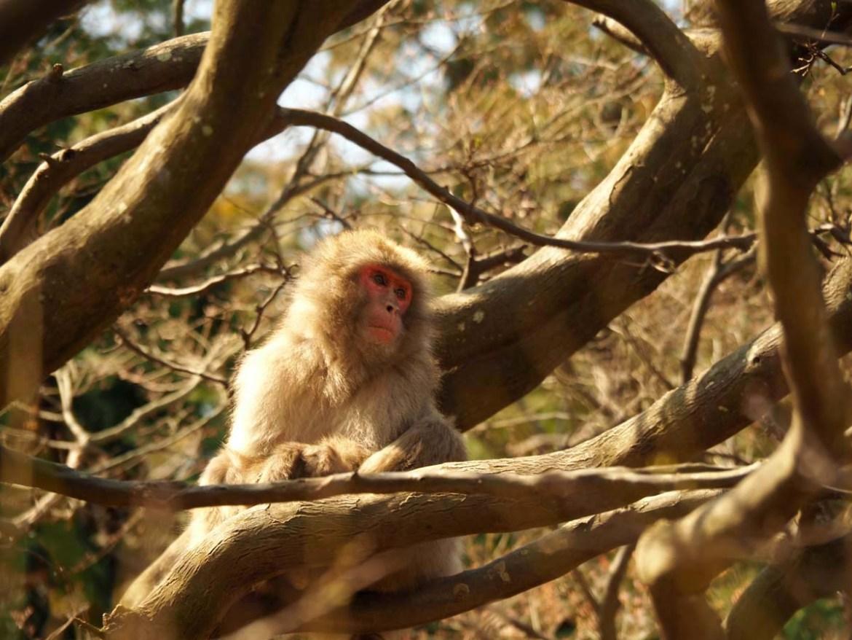 Les singes d'Arashiyama, Japon