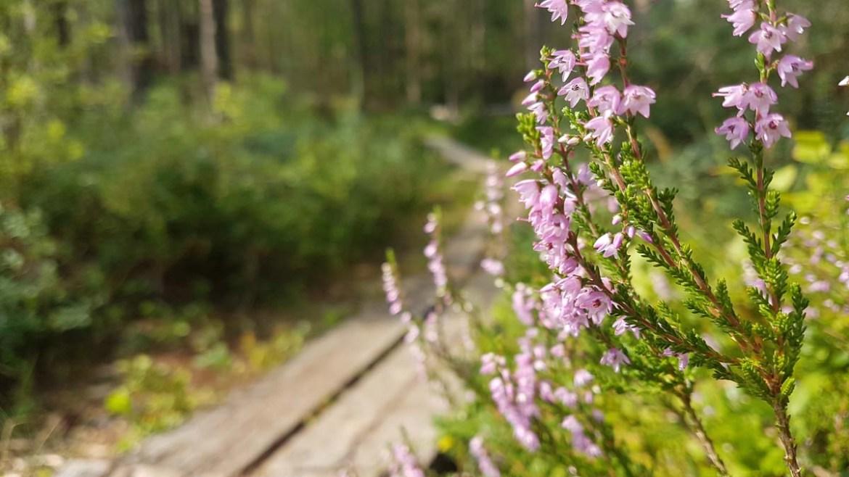 Orchidées sauvages dans le parc de Store Mosse, Suède